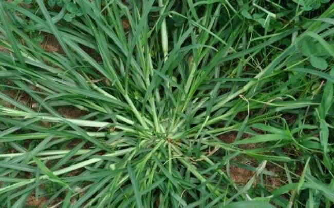 Loại cỏ ở Việt Nam cho bò ăn nhưng thực ra lại rất có giá: Chuyên gia chỉ tác dụng ai cũng biết cũng thấy tiếc