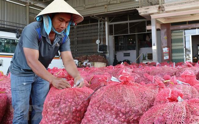 Hành tím được mùa, được giá, nông dân Ninh Thuận phấn khởi