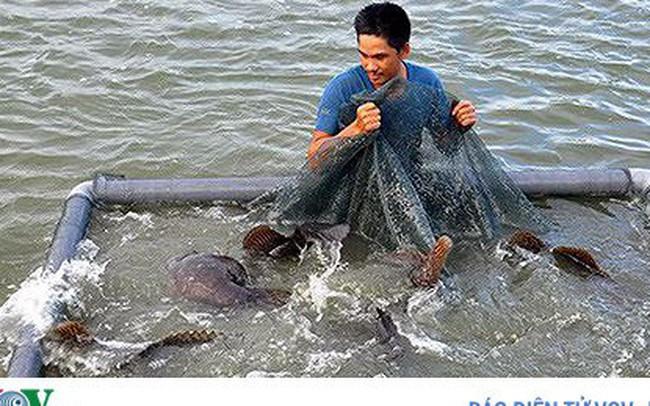 Lai tạo thành công cá song vua mang lại hiệu quả kinh tế cao