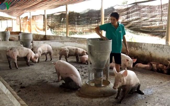 Chuyển đổi mô hình chăn nuôi sau dịch tả lợn Châu phi - ảnh 1