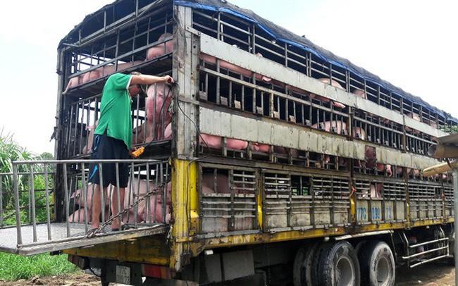 Dịch tả lợn châu Phi lây lan chóng mặt sau lũ
