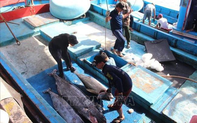 Nhiều khó khăn nâng cao chất lượng cá ngừ đại dương - ảnh 1