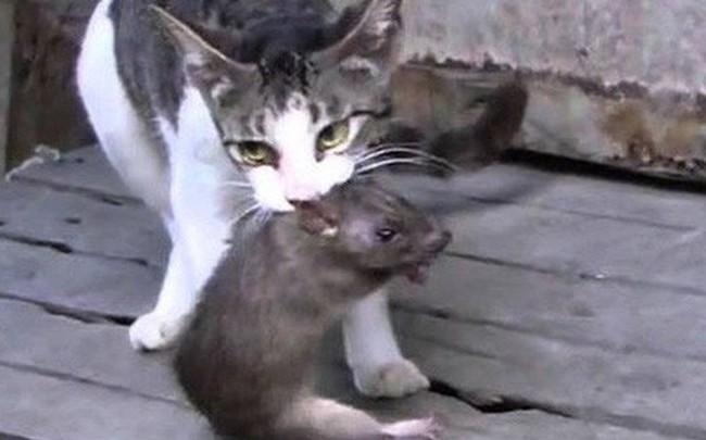 Bị mèo tấn công, chuột già cứu mạng 2 chuột nhắt theo cách ít ai ngờ đến: Con người nên học