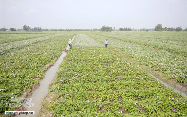 Vựa khoai lang lớn nhất miền Tây xuất khẩu sang Trung Quốc - ảnh 1
