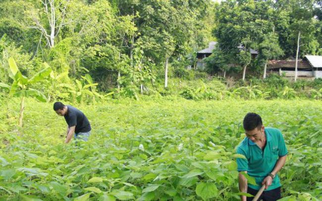 Triển vọng kinh tế từ cây gai xanh ở Sơn La