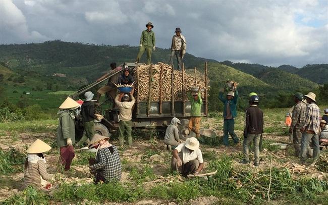 Gia Lai: Một mùa mỳ thất bát
