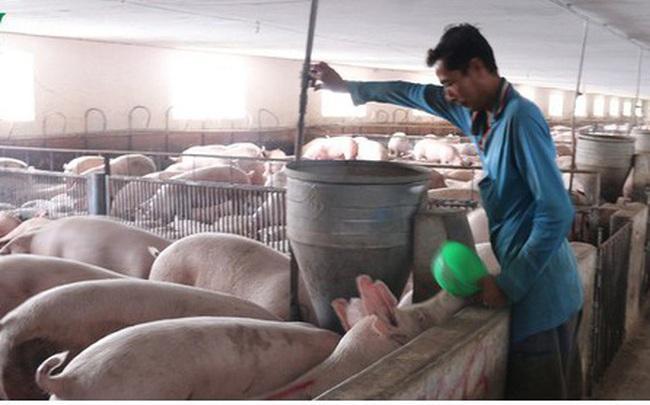 Yên Bái không tái đàn lợn bằng mọi giá