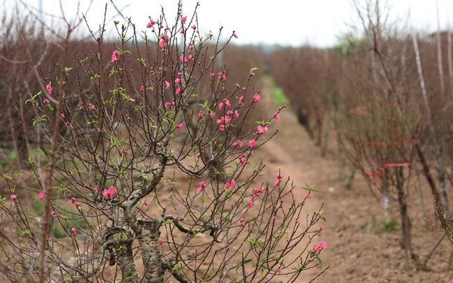 Những điều thú vị về hoa đào Nhật Tân của người Hà Nội
