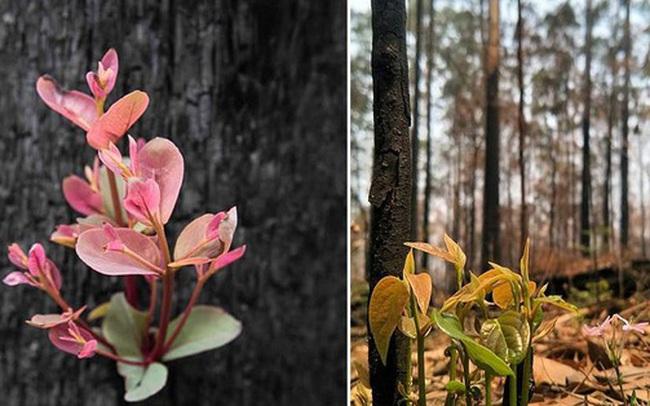 """""""Phượng hoàng lửa tái sinh từ đống tro tàn"""": Những mầm sống vươn mình tại nơi hứng chịu sự càn quét của thảm họa cháy rừng"""