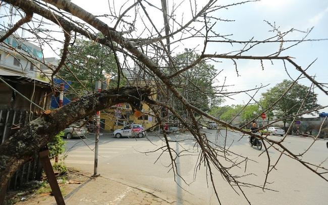 Vượt 300km về Hà Nội, đào rừng không lá không hoa hét giá khó tin gần 200 triệu đồng