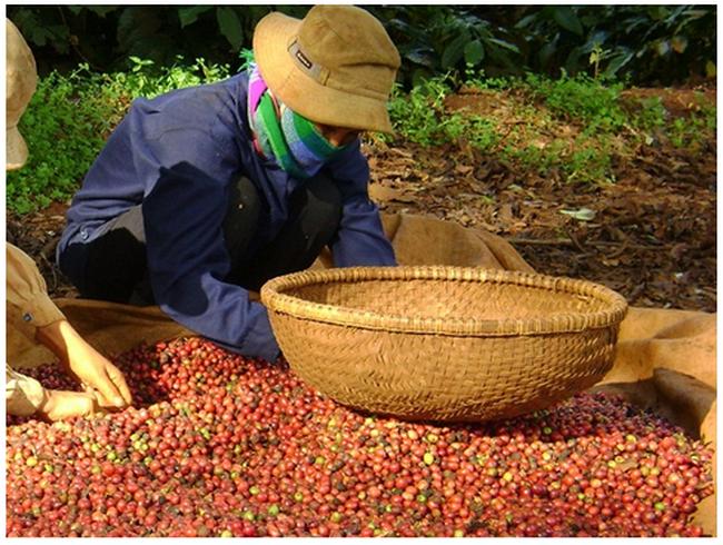 DN cà phê được giải tỏa vướng mắc hoàn thuế GTGT