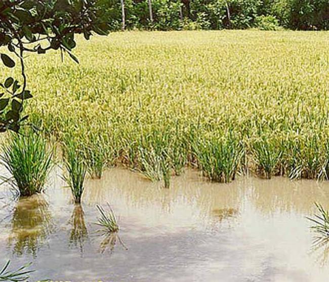Thủ tướng yêu cầu tiêu thụ hết lúa hàng hóa vụ hè thu