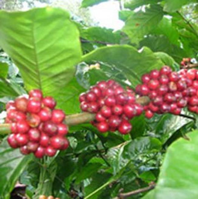 Cà phê Việt đối mặt thách thức mới