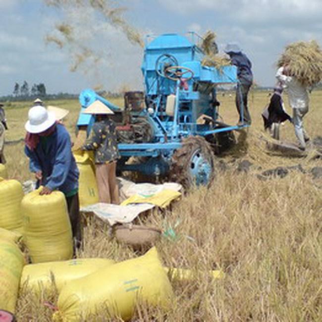 ĐBSCL: DN chưa nhiệt tình thu mua lúa