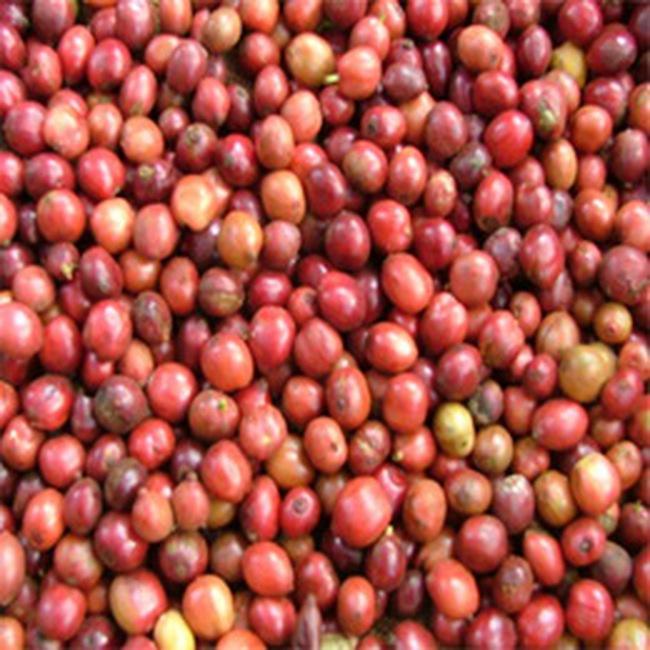 Lượng tiêu thụ cà phê thế giới năm 2008 sẽ tăng 2%