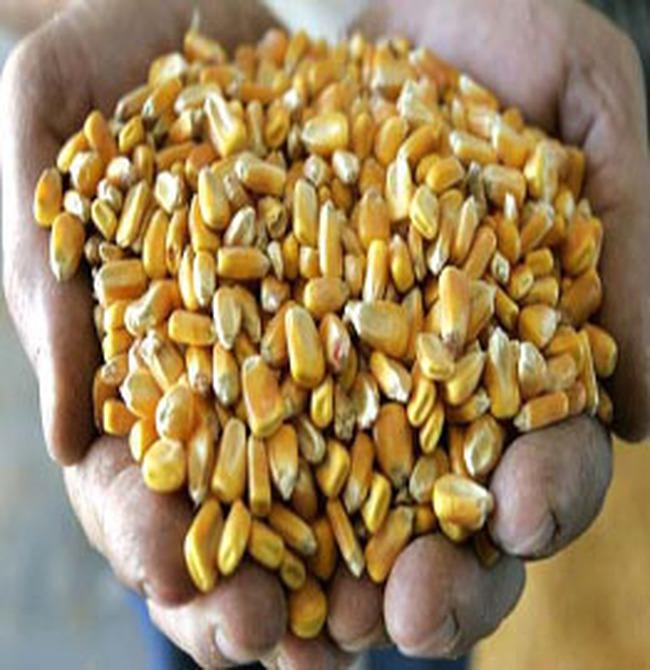 Giá phân bón tăng cao đẩy nông dân vào đói nghèo