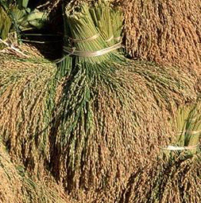 13.800 tỉ đồng phục vụ việc thu mua lúa