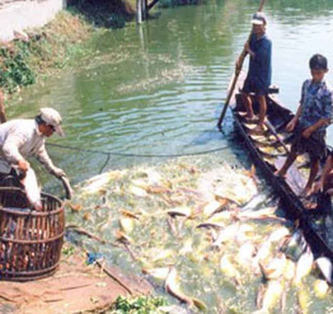 Giá cá tra giảm do khó bán