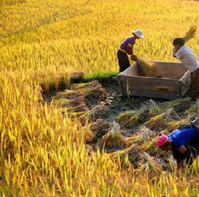 Đề xuất xuất khẩu gạo tự do đến tháng 2 năm 2009