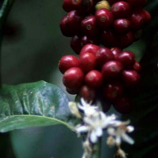 Giá cà phê chưa có dấu hiệu ngừng giảm