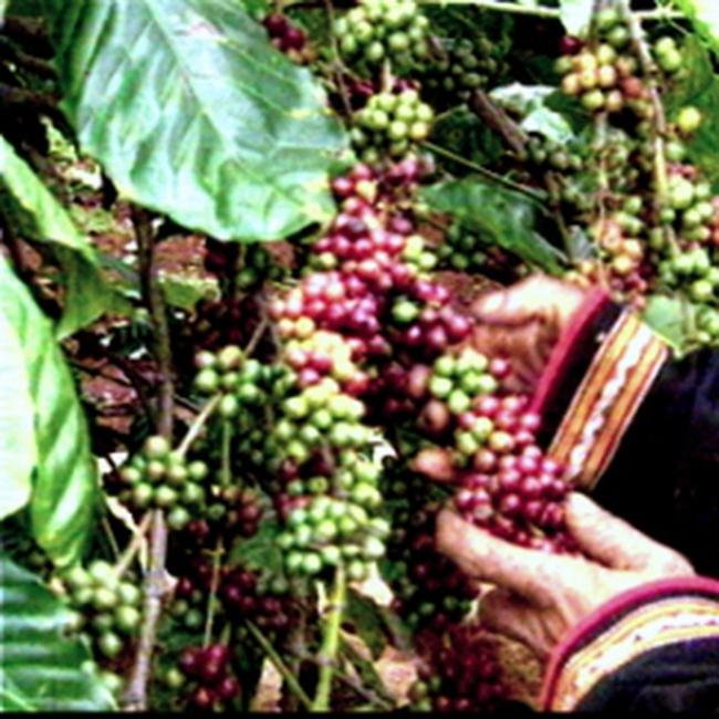 """Người trồng cà phê đang """"nắm dao đằng lưỡi"""""""