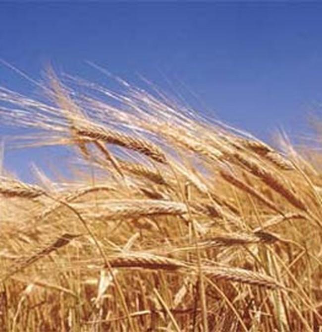Giá lương thực thế giới năm nay có thể tăng mạnh