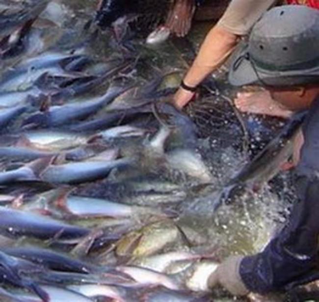 2009 xuất khẩu cá tra có triển vọng, tôm gặp khó