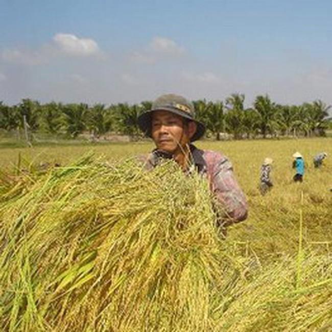 Giá lúa gạo tăng trở lại