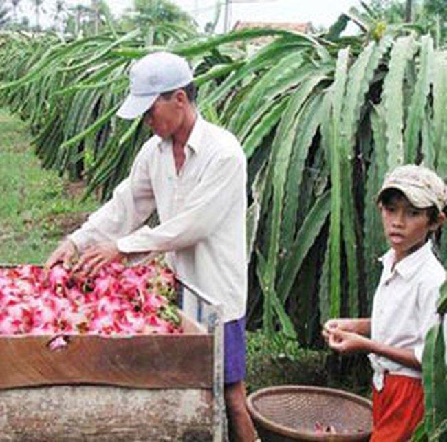 Đài Loan cấm nhập khẩu thanh long Việt Nam