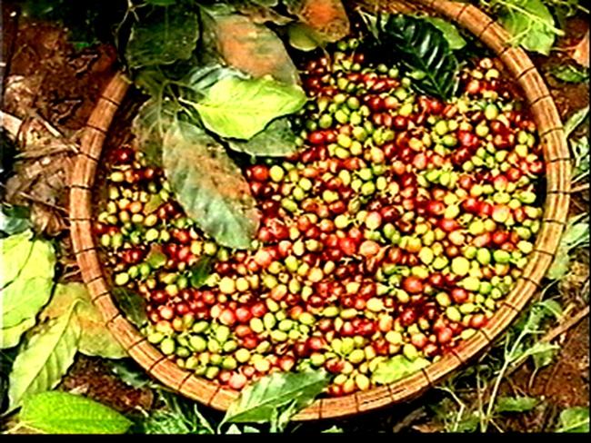 Hạn chế xuất khẩu cà phê