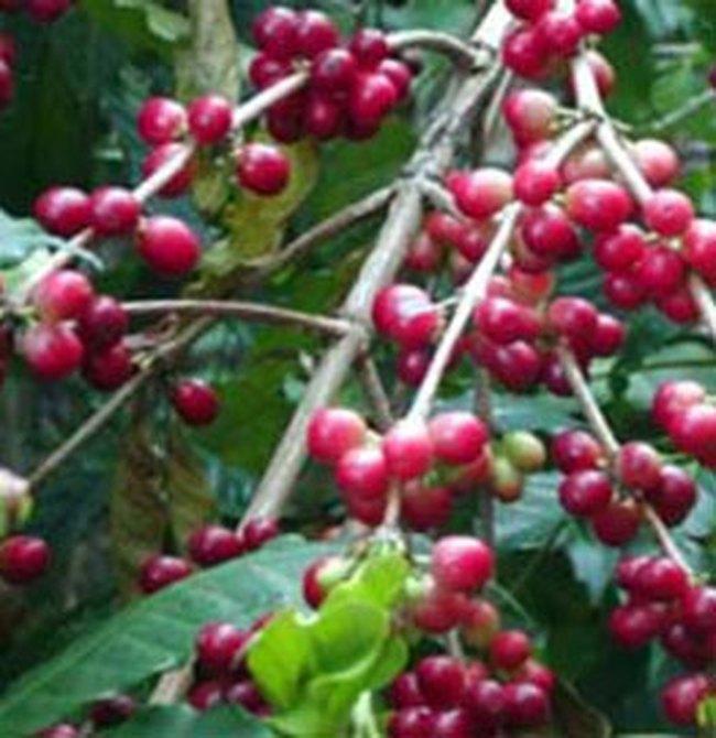 Giá cà phê ít biến động