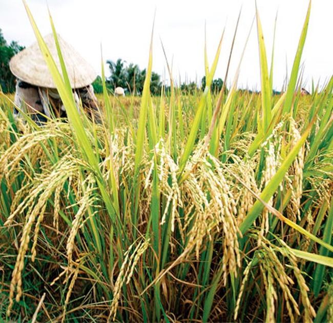 Giá lúa gạo đang tăng trở lại