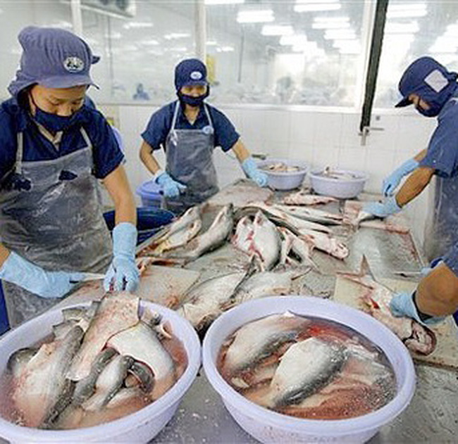 Nhiều người nuôi cá tra treo ao