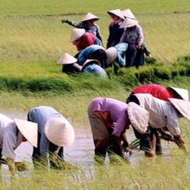 Tiền thu hồi đất lúa có thể gấp đôi giá đất thổ cư