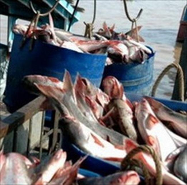 """""""Không có lý do để phát động cuộc chiến thương mại về cá tra, basa Việt Nam"""""""