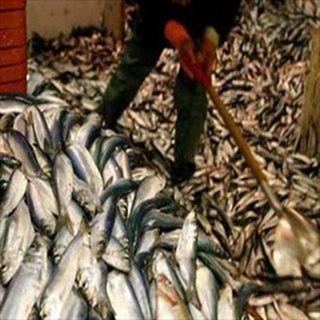 Thủy sản sẽ gặp khó tại EU với quy định kiểm soát sản phẩm đánh bắt
