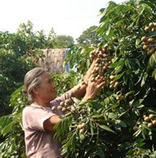 Nhãn Hưng Yên mất mùa, người trồng thất thu