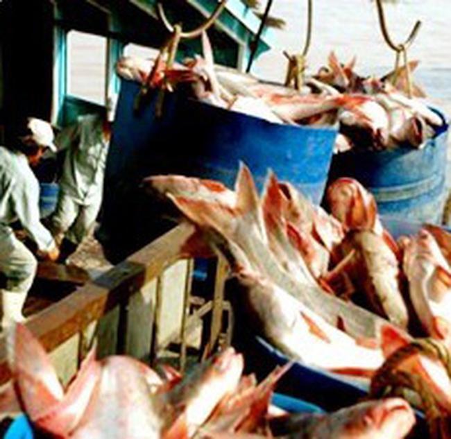 DN thủy sản bị tranh mua nguyên liệu ngay tại 'sân nhà'