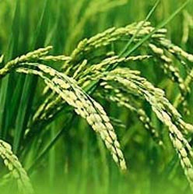 ASEAN lập hội kinh doanh gạo