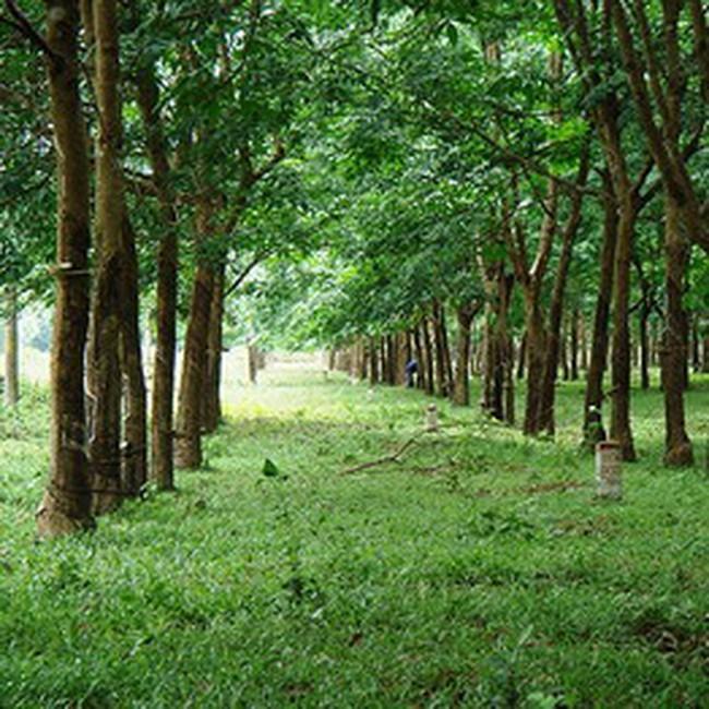 Lào: Đánh giá các dự án trồng cao su
