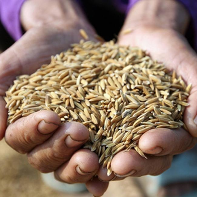 Liên doanh lúa gạo VN-Campuchia: Sẽ hạn chế nhập gạo lậu