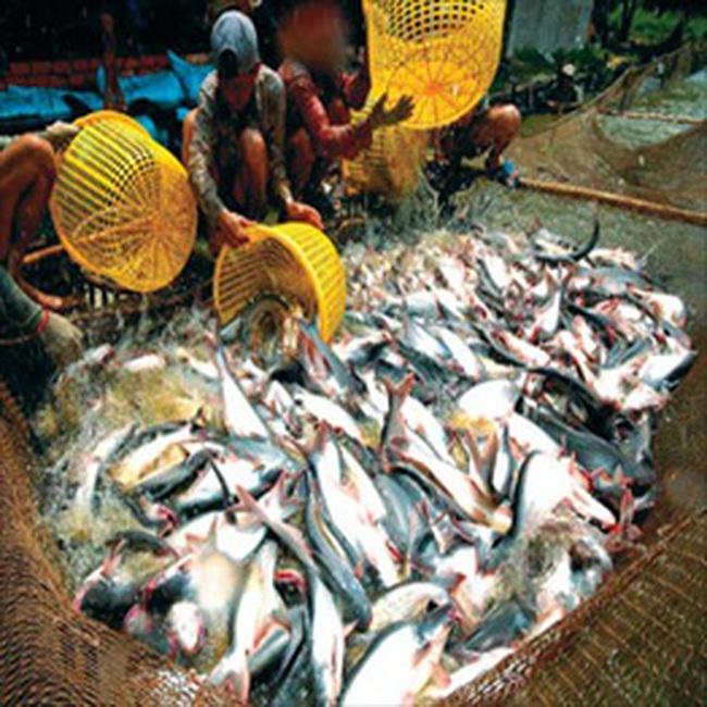 Bianfishco: Tháng 8 xuất khẩu hơn 70 côngtenơ cá tra sang Mỹ