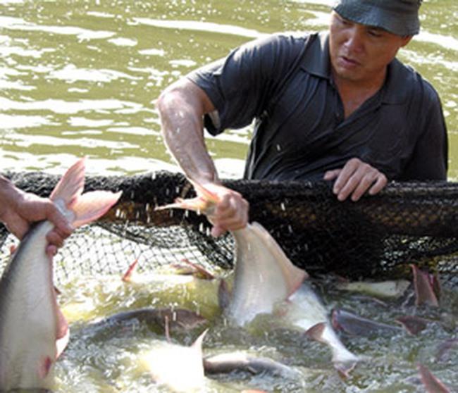 Gỡ khó cho nuôi, chế biến cá tra