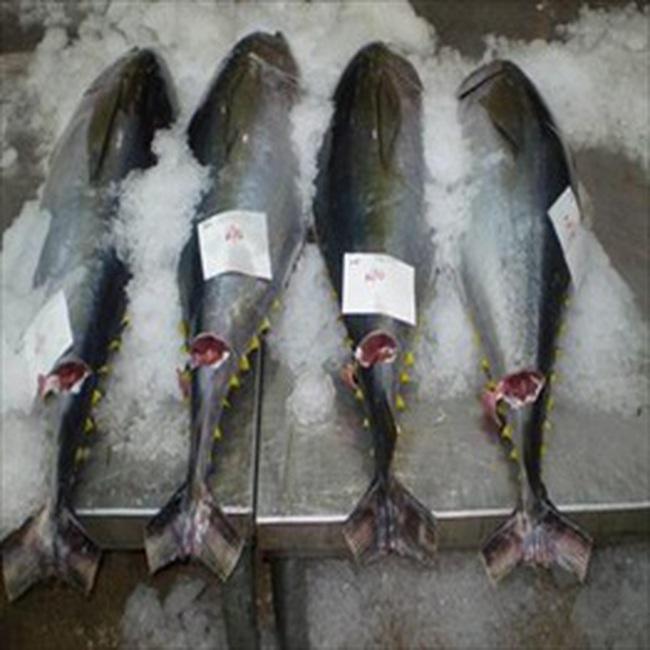 Mỹ truất ngôi EU về thị trường nhập khẩu cá ngừ Việt Nam