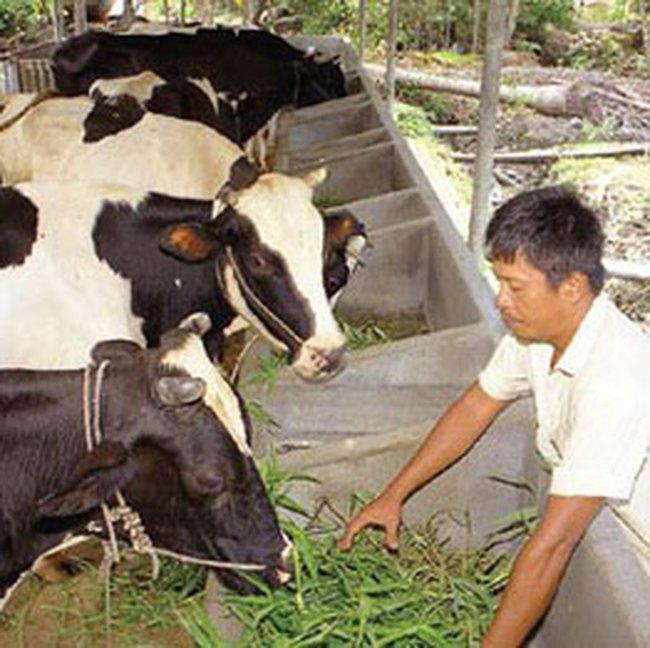Nông dân phản ứng cách khấu trừ giá sữa bò
