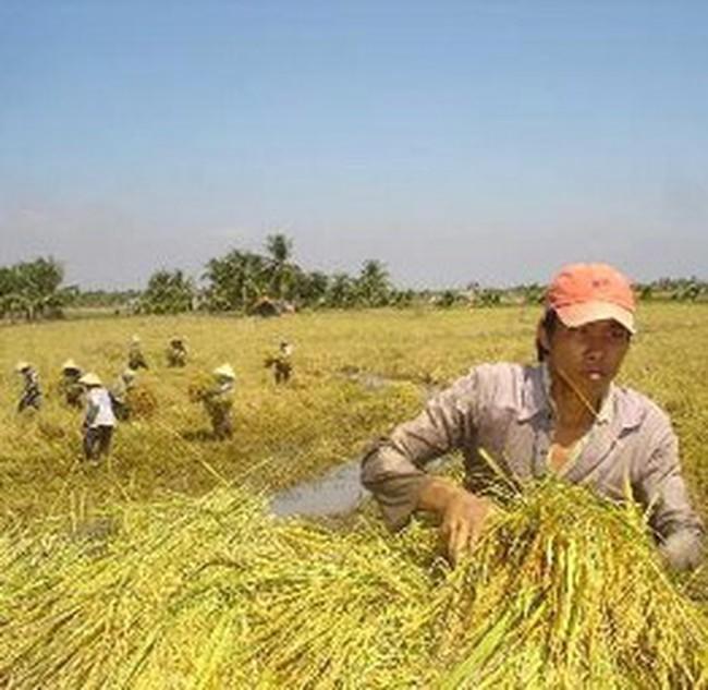 Giá lúa IR 50404 tăng vọt do người Campuchia tranh mua