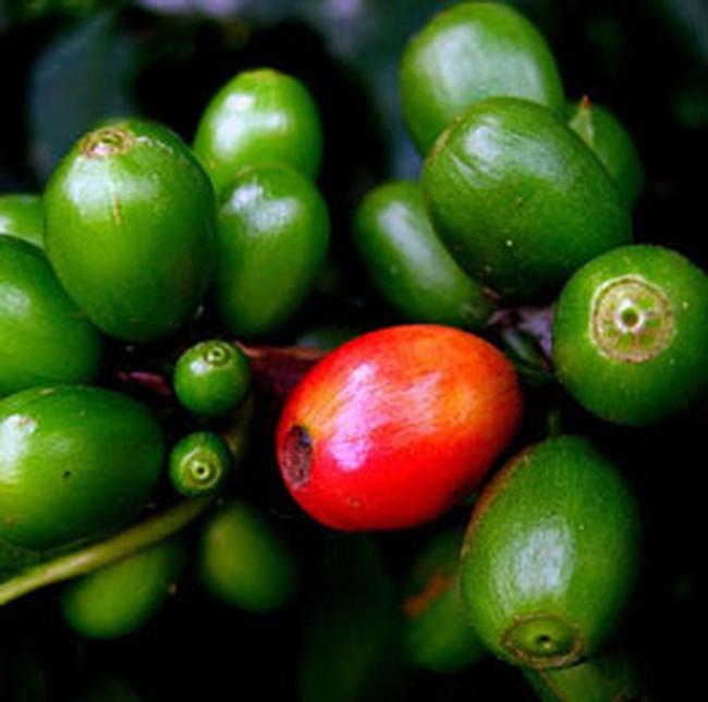 Người trồng cà phê mất 500 tỉ đồng