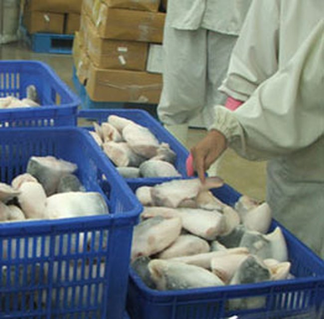 Giá xuất khẩu cá tra của Việt Nam đồng loạt giảm