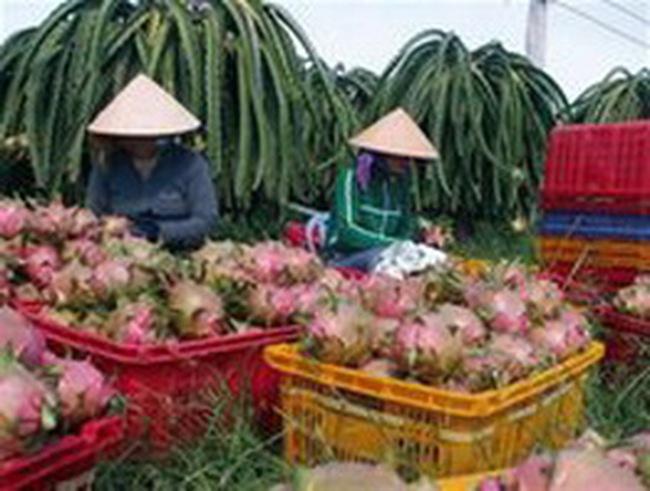 Cơ hội xuất khẩu thanh long vào Chi Lê