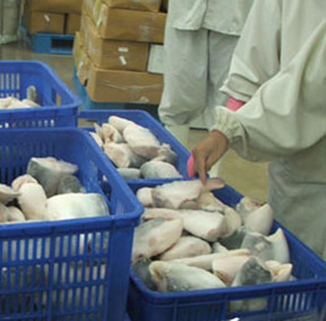 Cá tra tăng giá, nhà máy thiếu nguyên liệu